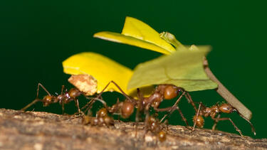 Leafcutter ants carrying a leaf