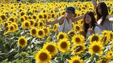 Women taking selfies in a field of sunflowers
