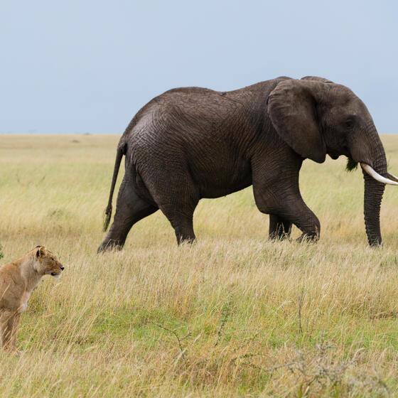 A lion and an elephant